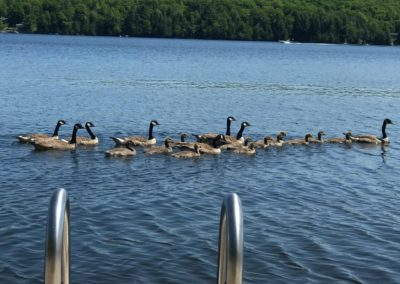 Geese on Beech Lake